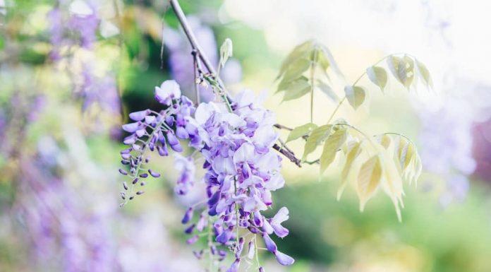 ramo di glicine fiorito