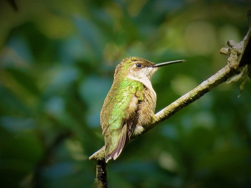 leggende-colibrì