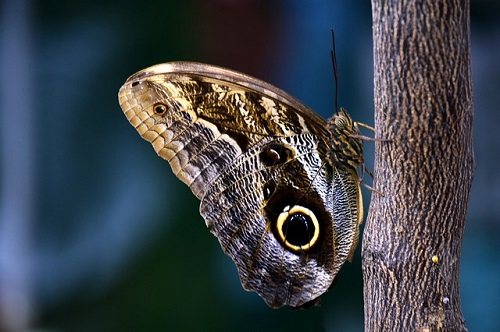 curiosità-farfalle