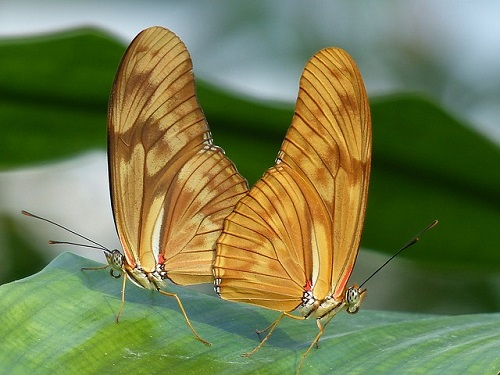 farfalle-