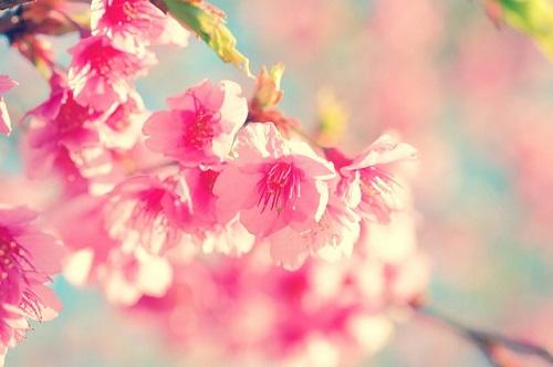 fiore-sakura