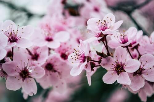 fiori-rosa-di-ciliegio-su-un-ramo-è-primavera