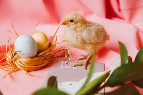 pulcini-piccoli-e-uova-colorate-su-sfondo-rosa-per-festeggiare-Pasqua
