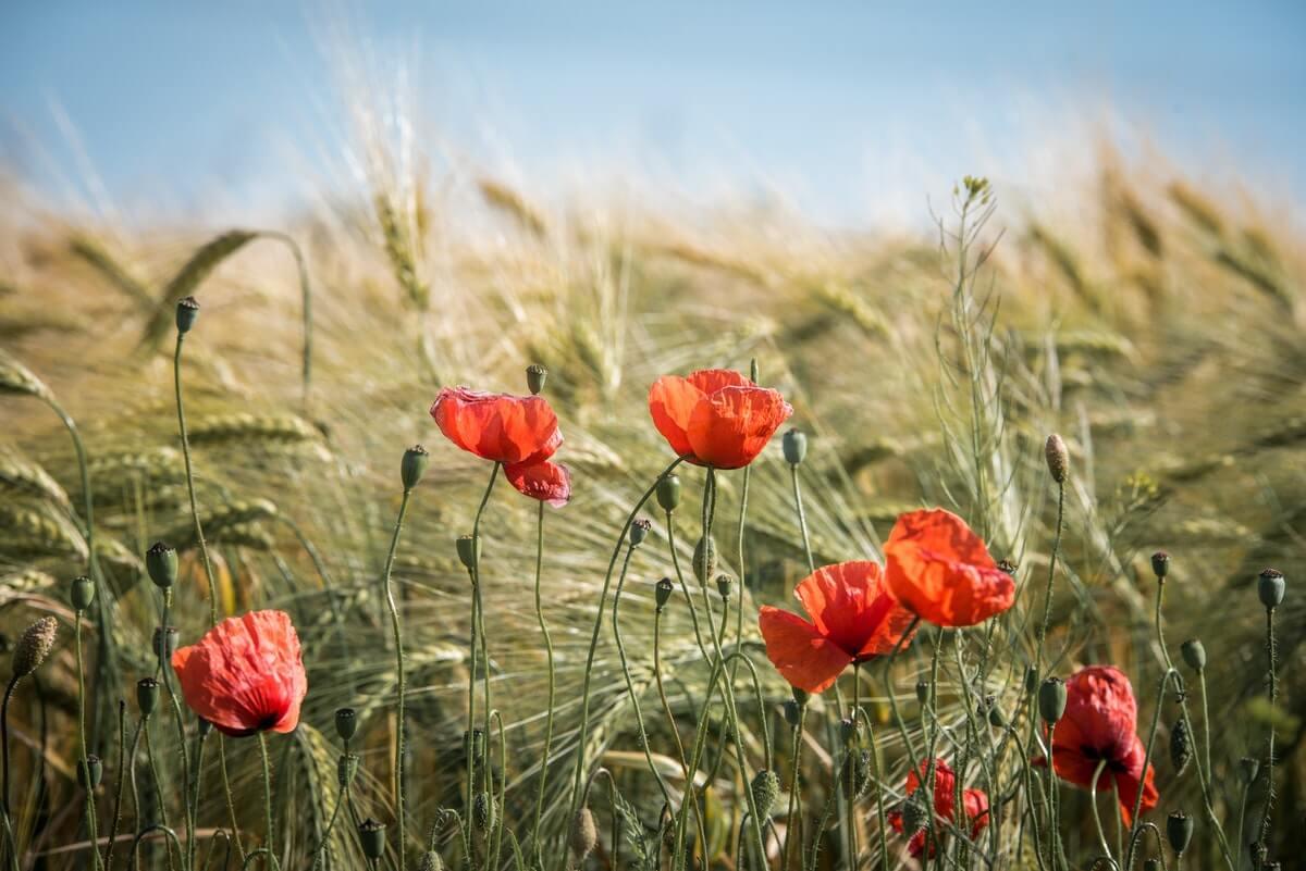 papaveri-in-un-campo-di-grano