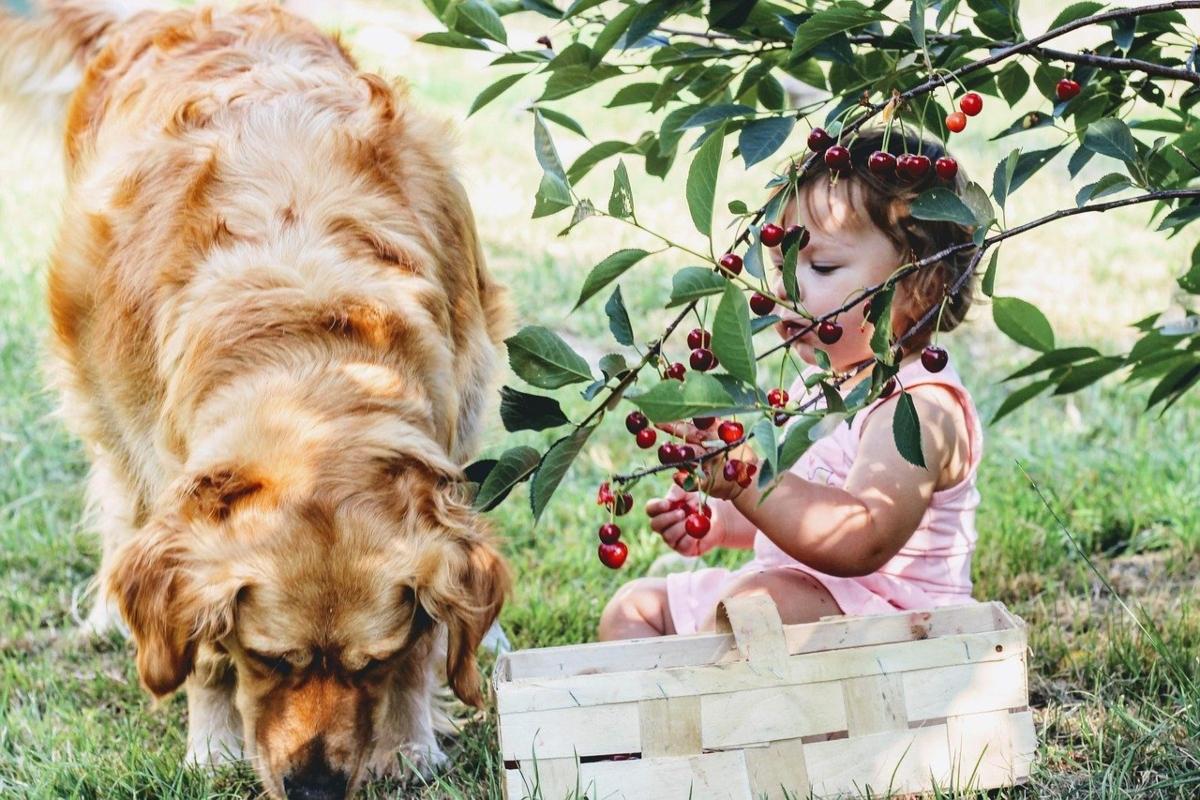 bambina-piccola-mangia-frutti-rossi-da-un-albero