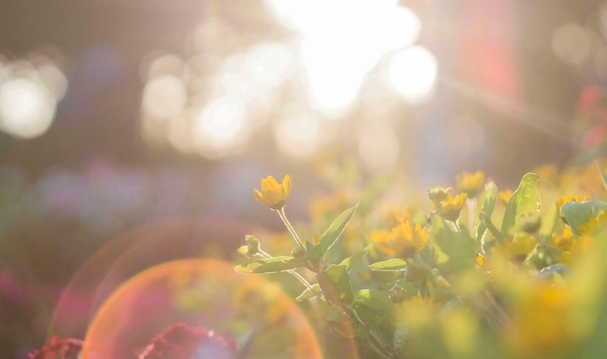 fiore-giallo-selvatico-con-sole