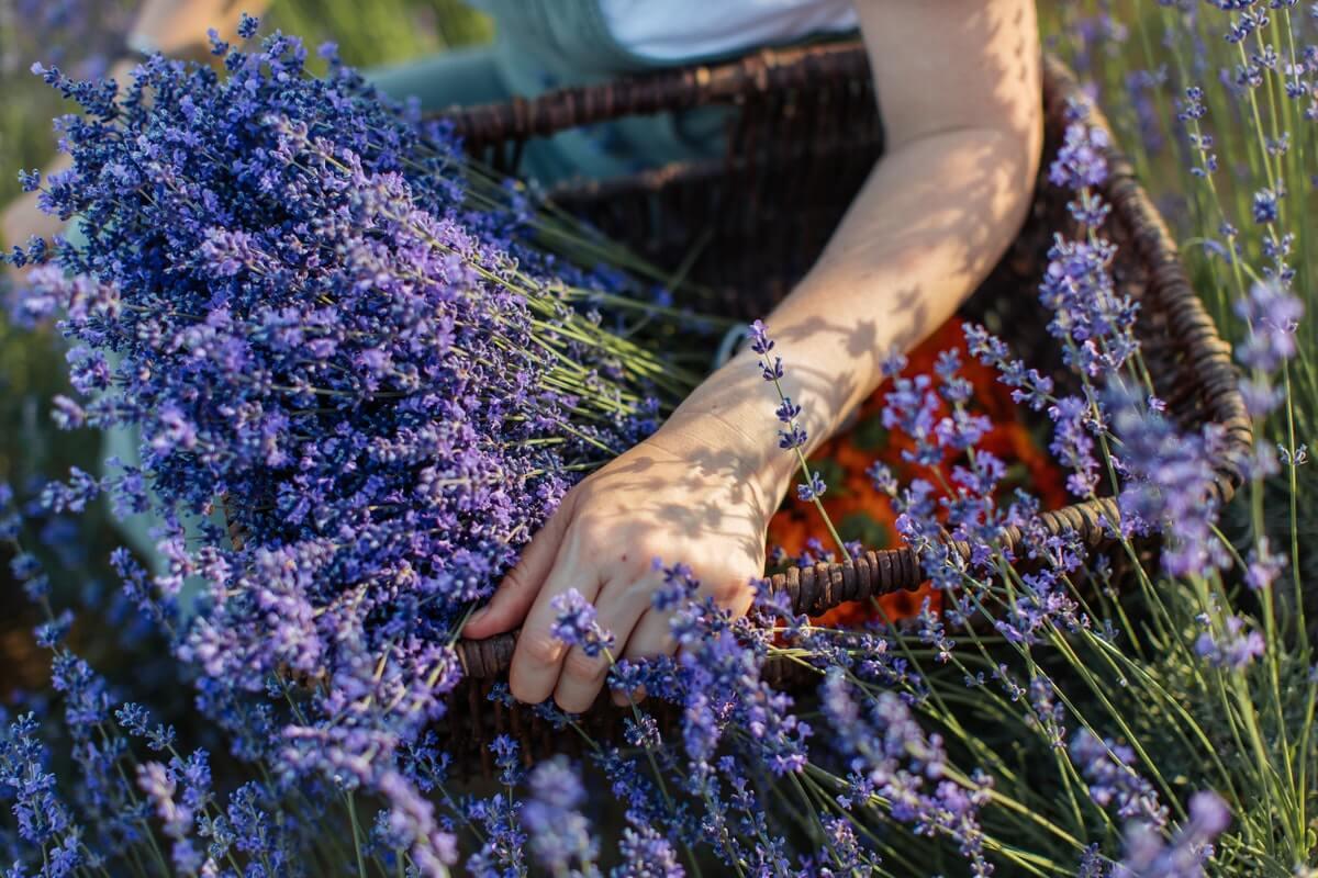 donna-raccoglie-lavanda-erbe-magiche-del-solstizio-estate