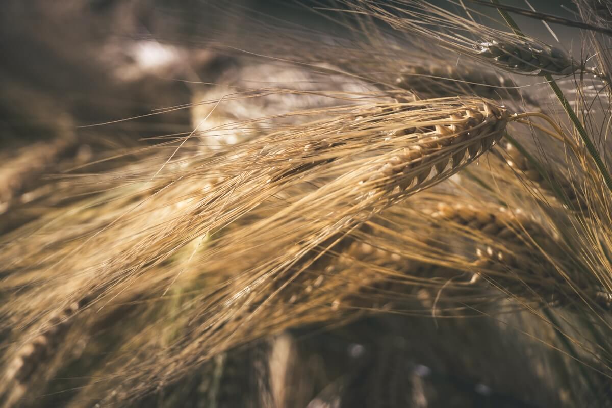 spighe-in-un-campo-di-grano