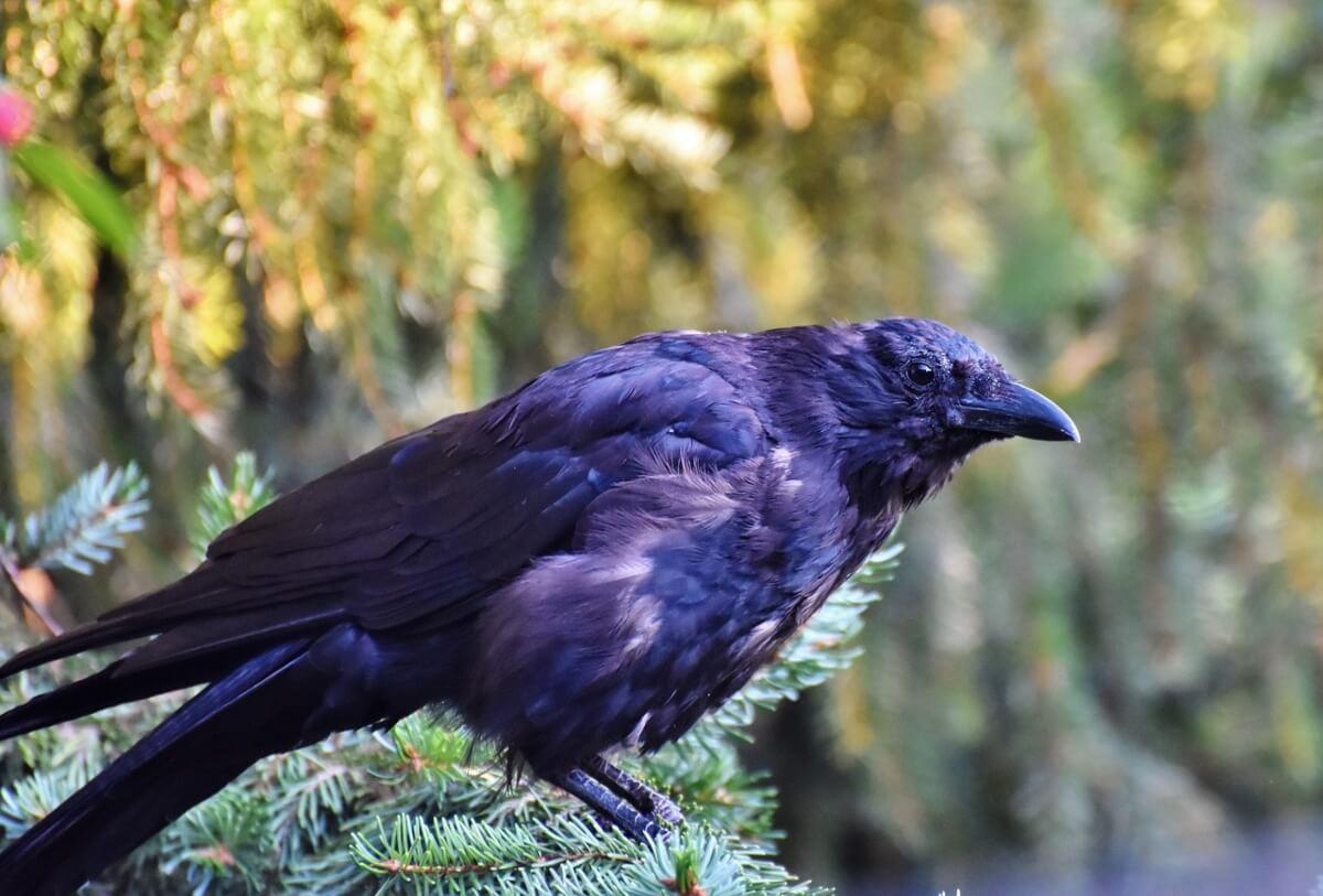 corvo-arcobaleno