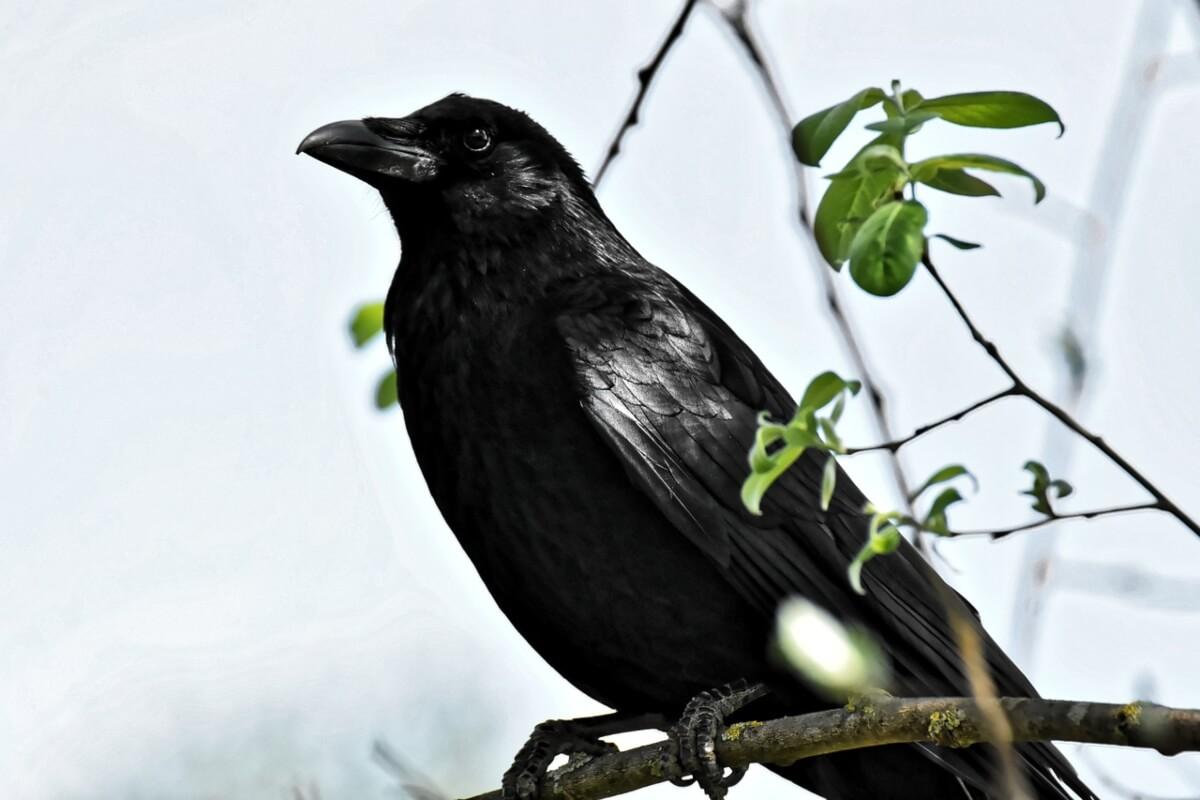corvo-nero-su-un-ramo