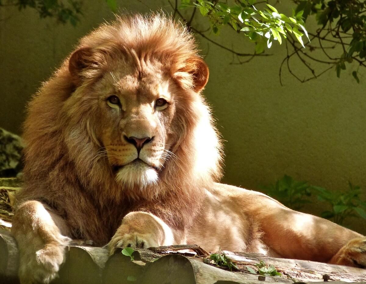 leone-sotto-un-albero