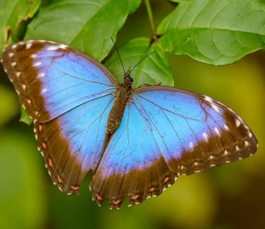 Farfalla azzurra appoggiata su una foglia